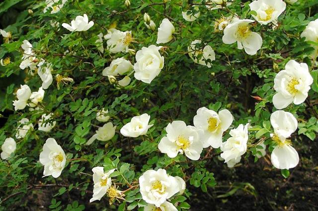 Роза колючейшая. Другое название - роза бедренцоволистная