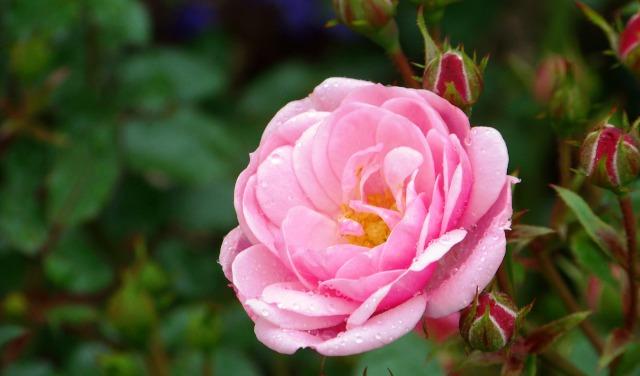 Роза прелестная