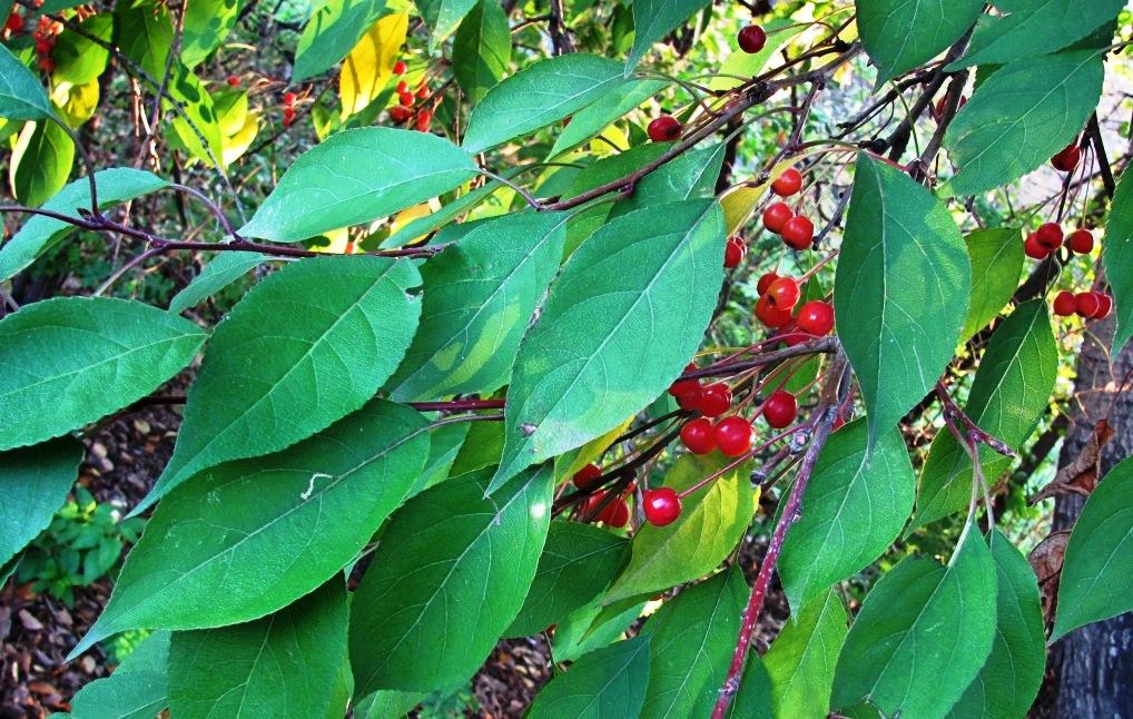Яблоня маньчжурская