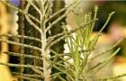 Бриофиллум трубкоцветный