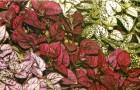Гипестес листоколосковый