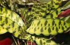 Калатея леопардовая