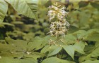 Конский каштан мелкоцветковый