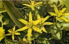 Лук гусиный желтый