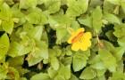 Мимулюс гибридный