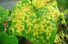 Обыкновенная мозаика огурца