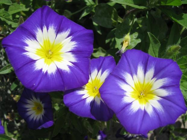Что за растение дневная красавица?