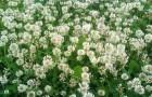 Белый клевер