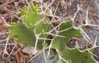 Эуфорбия грандикорнис