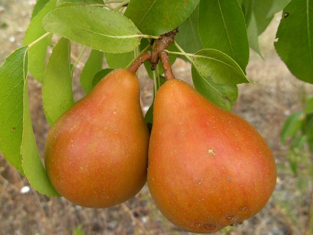 Как определить, что яблоки и груши созрели?