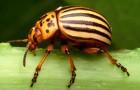 Как бороться с колорадским жуком?