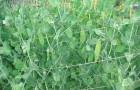 Как консервируют зеленый горошек?