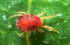 Как можно избавиться от паутинного клеща