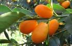 Как можно ускорить плодоношение кинкана?