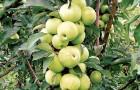Как защитить колонновидные яблони от вредителей и болезней?