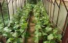 Какие болезни появляются на растениях в теплице?