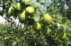 Какие сорта груши рекомендуют для выращивания в Подмосковье?
