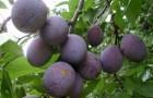 Какие сорта сливы устойчивы к коккомикозу и слястероспориозу?
