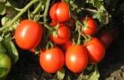 Какие сорта томата хорошо завязывают плоды в экстремальных условиях?