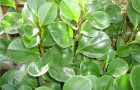 Какими симптомами проявляются корневые гнили комнатных растений?