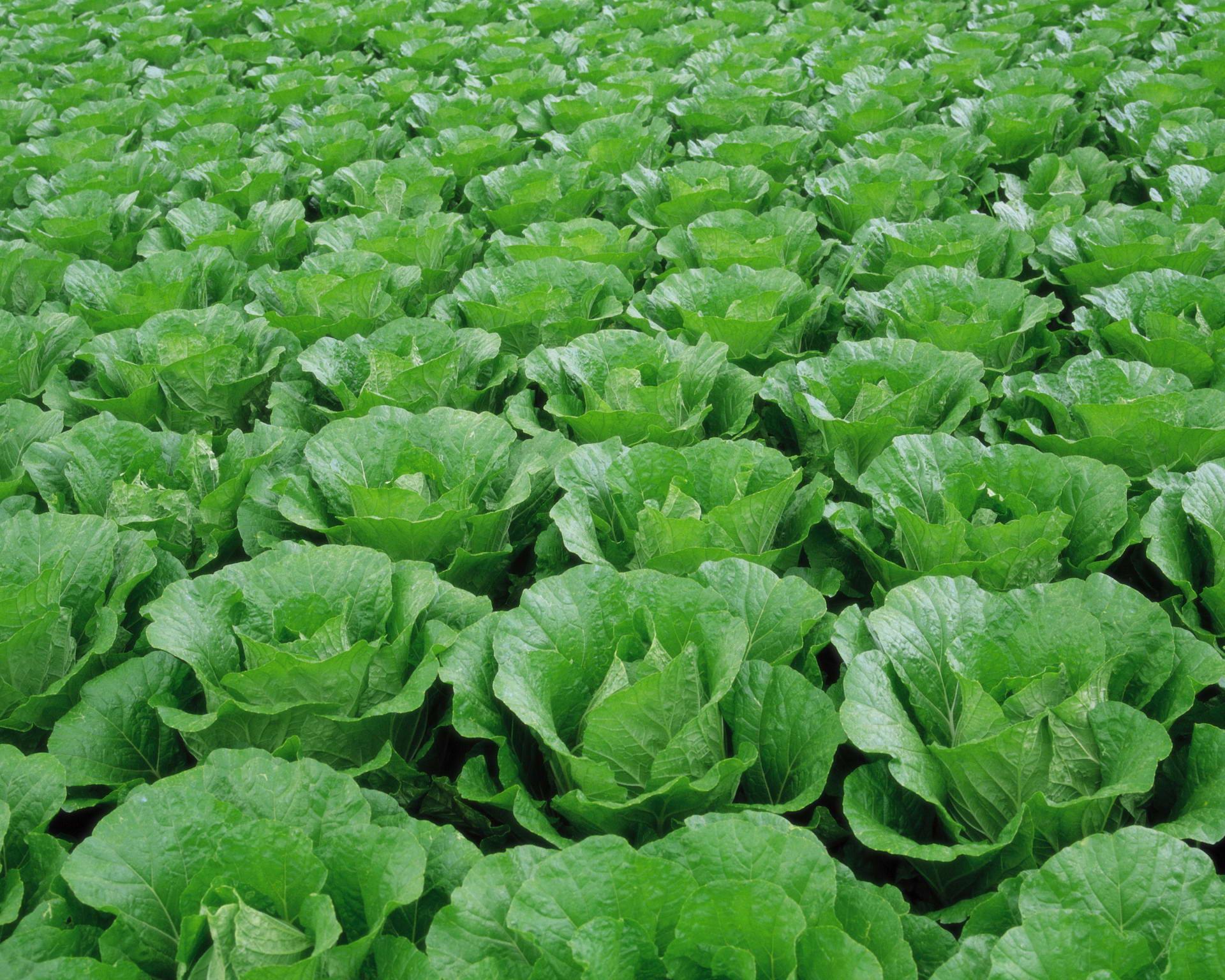 Определение вида капусты