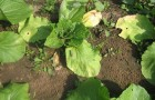 Листья капусты желтеют и стелются по земле