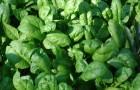 Особенности выращивания шпината на садовом участке