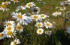 Приготовление отвара инсектицидных растений