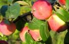 В августе зацвела яблоня