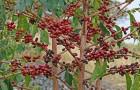 Выращивание «чашечки кофе» дома