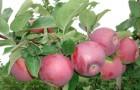Зимостойкость яблони