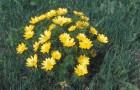 Адонис весенний, или горицвет