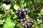 Арония черноплодная, или рябина черноплодная