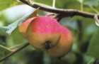 Сорт яблони: Августовское дальневосточное