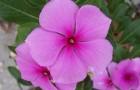 Барвинок розовый