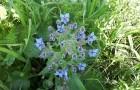 Бурачник лекарственный, огуречная трава