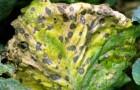 Черная пятнистость или альтернариоз капусты
