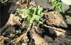 Фузарнозное увядание капусты