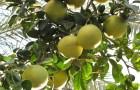 Грейпфрут, или помпельмус гроздевидный