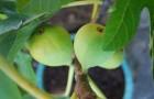 Инжир, или смоковница обыкновенная, или фиговое дерево