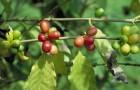 Кофейное дерево, или кофе