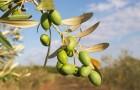 Маслина европейская, или оливковое дерево