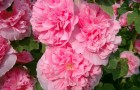 Шток-роза розовая