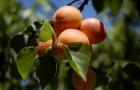 Сорт абрикоса: Алёша