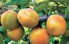 Сорт абрикоса: Хабаровский