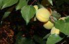 Сорт абрикоса: Хекобарш