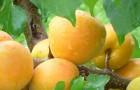 Сорт абрикоса: Хонобах