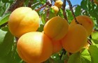 Сорт абрикоса: Куйбышевский юбилейный