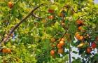 Сорт абрикоса: Первенец Самары (Куйбышевский ранний)