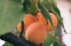 Сорт абрикоса: Ранний Марусича